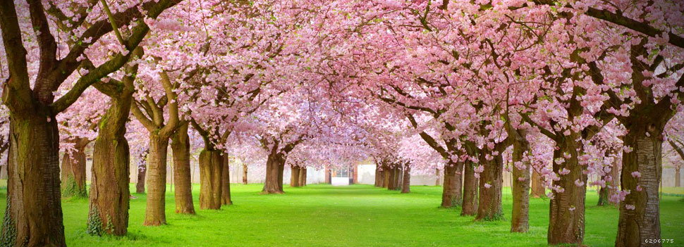 Rows of beautifully blossoming cherry trees on a green lawn